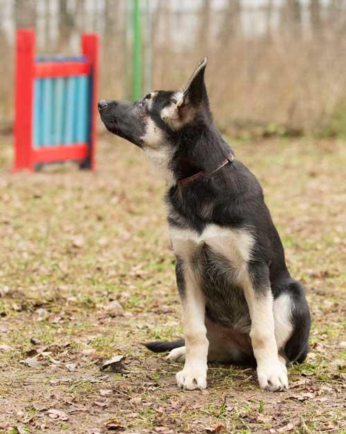 Восточноевропейская овчарка щенок
