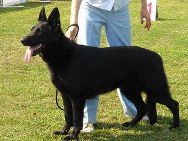 Черная восточно европейская овчарка